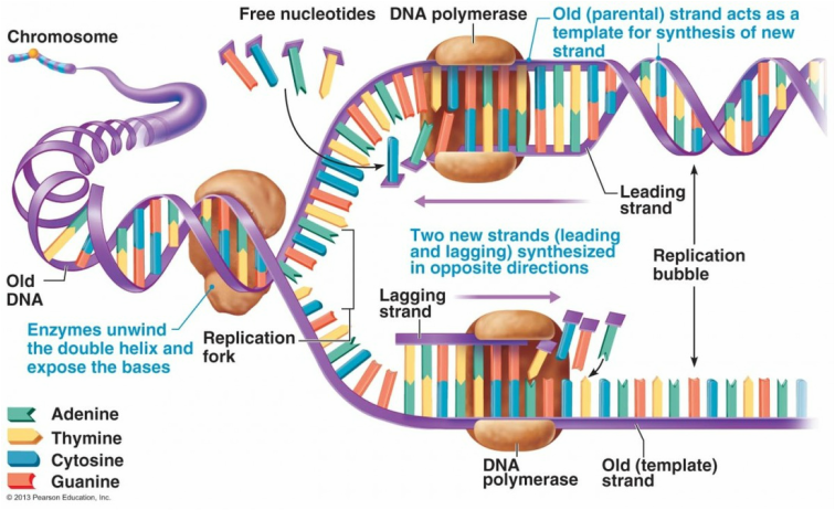 dna structure and replication